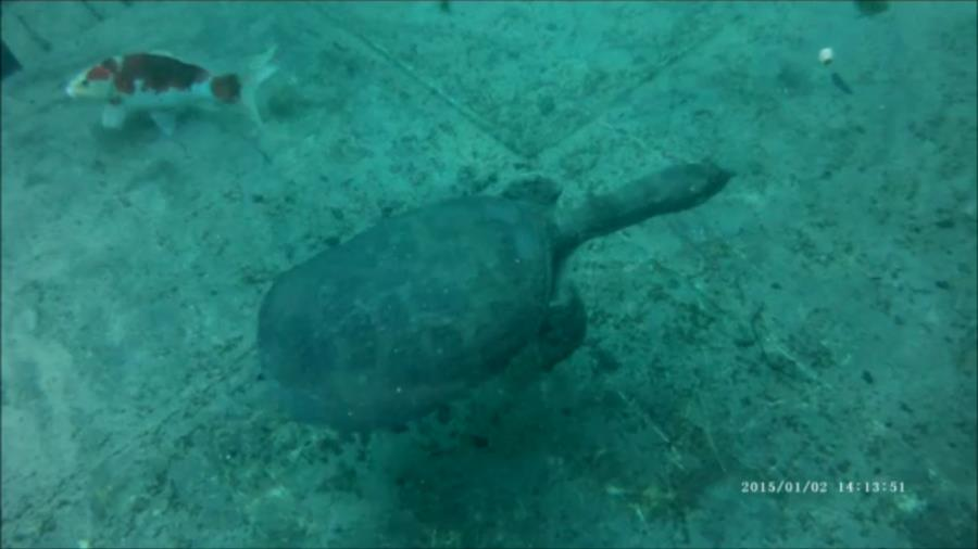 Virgil, The Famous Blue Grotto Turtle
