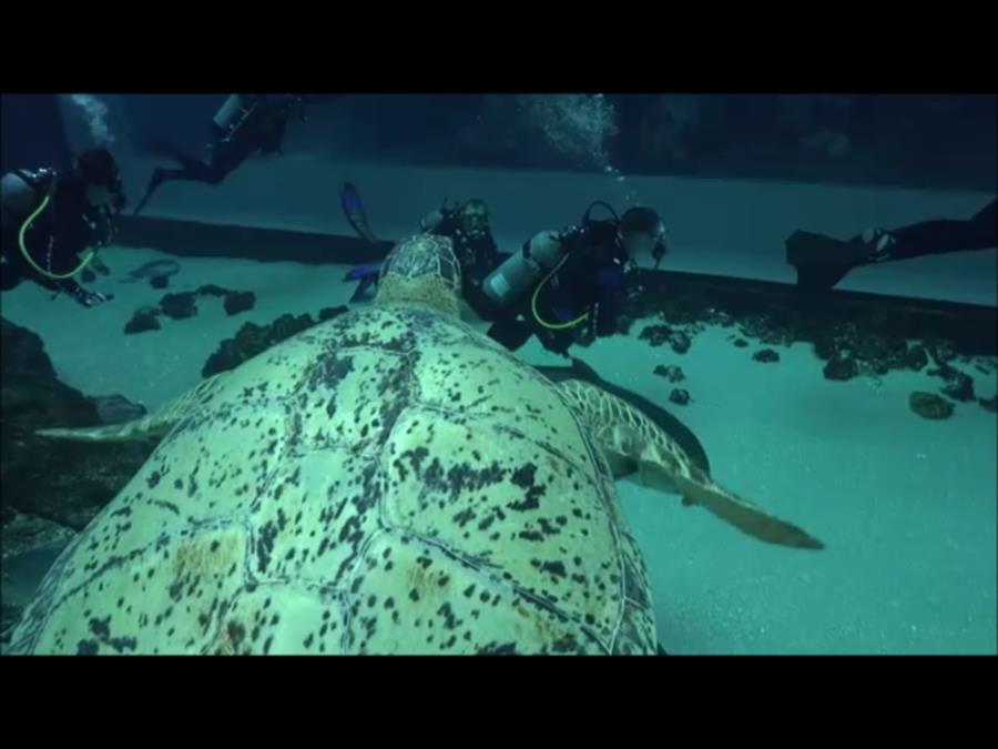 Georgia Aquarium - Tank the Green Seaturtle