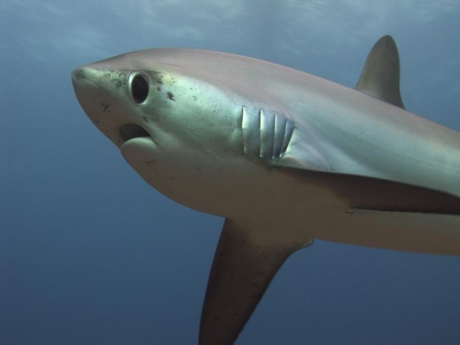Thresher shark quite close