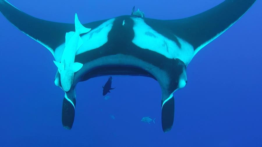Giant Oceanic Manta - Socorros