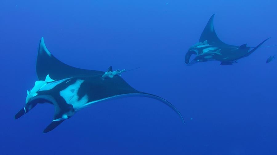 Giant Oceanic Manta - The Boiler, Socorro Islands