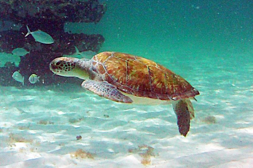 Sea Turtle at Navarre Reef
