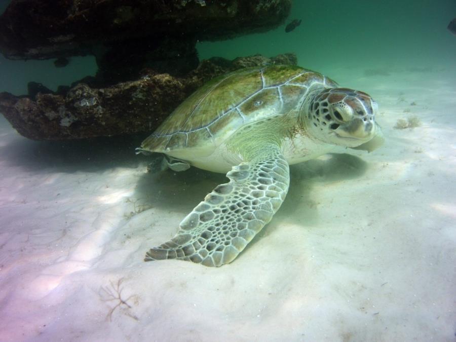 Green Turtle at Navarre Marine Sanctuary