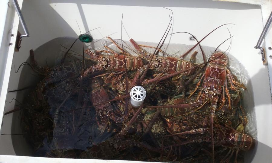 2nd Day 2018 FL Lobster Mini-Season Catch