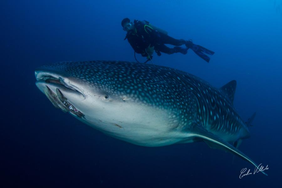 Whale Shark in Cocos