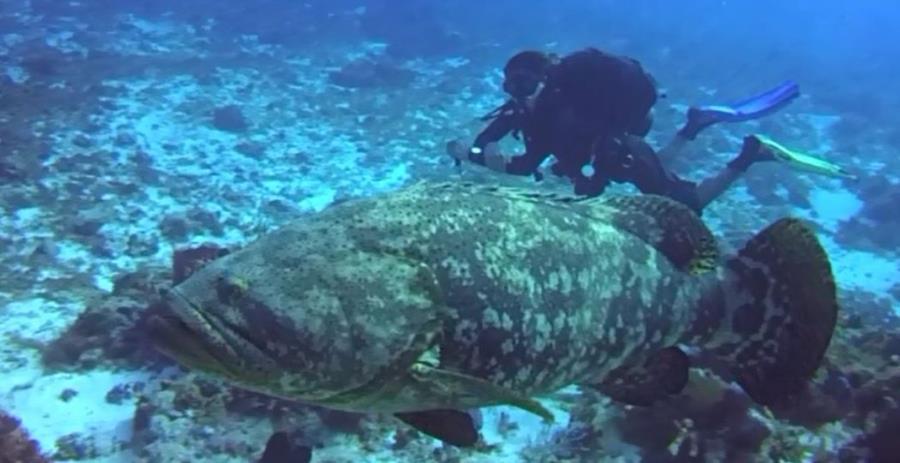Jew Fish Off Cozumel