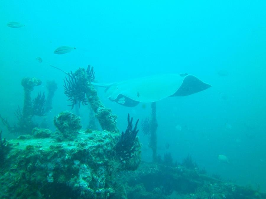 Stingray on Hyde wreck