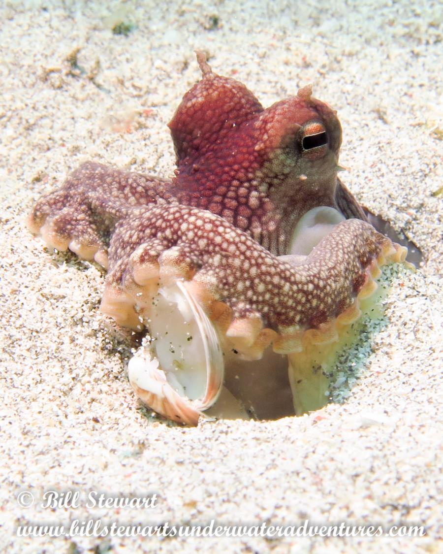 Octopus in Anilao Philippines