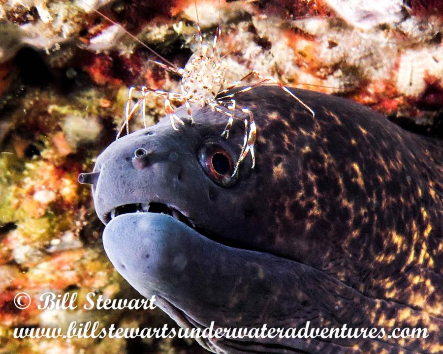Moray Eel with Cleaner Shrimp in Anilao, Philippines