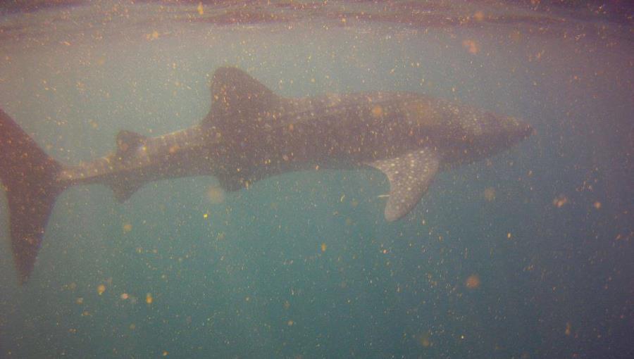 Whale Shark in Djibouti, Africa