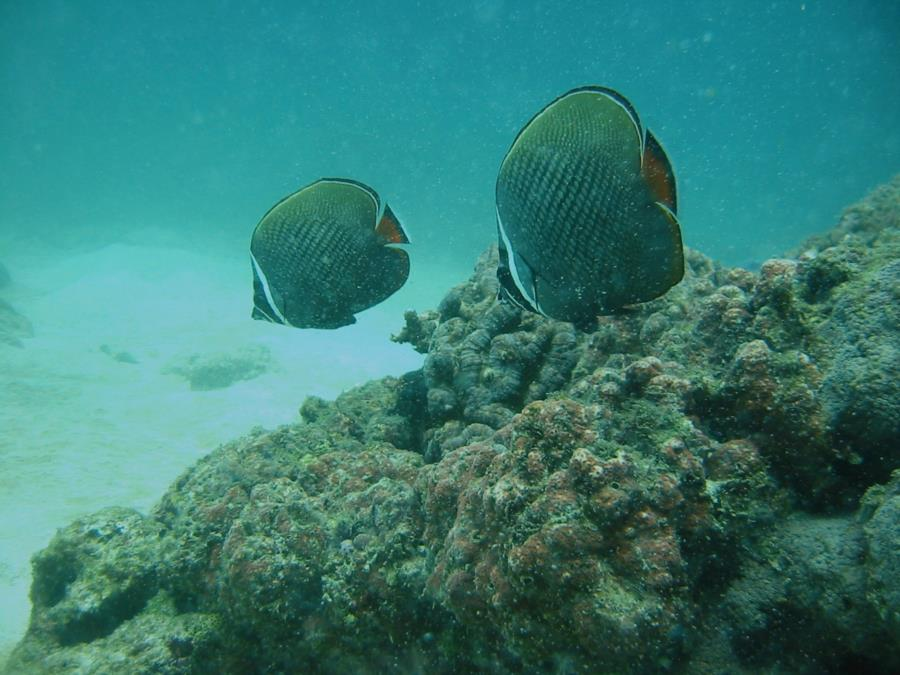 Pakistani Butterfly fish pair