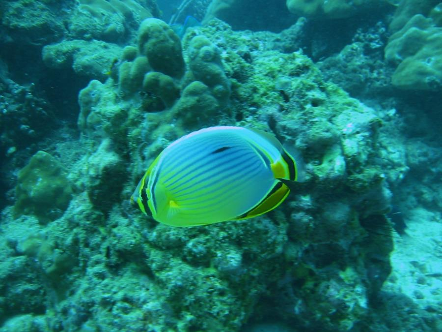 Beautiful Butterfly fish