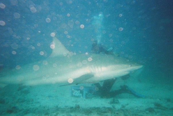 St Marteen shark dive