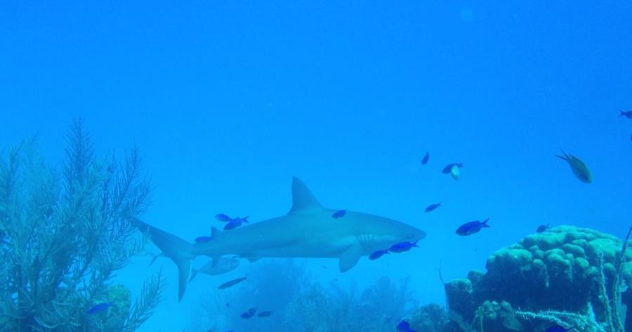 Reef Shark, Beliz