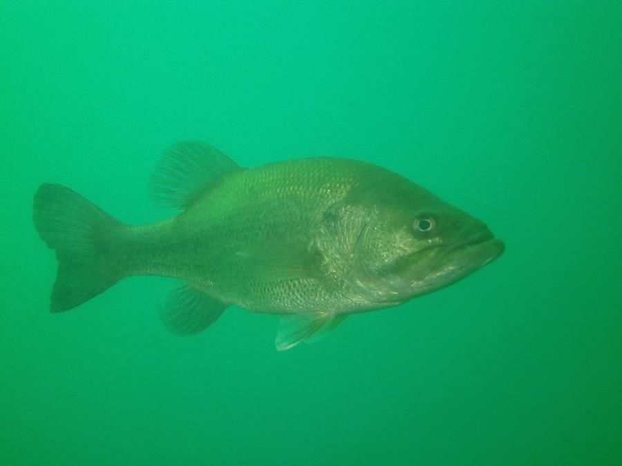 Large-mouth Bass