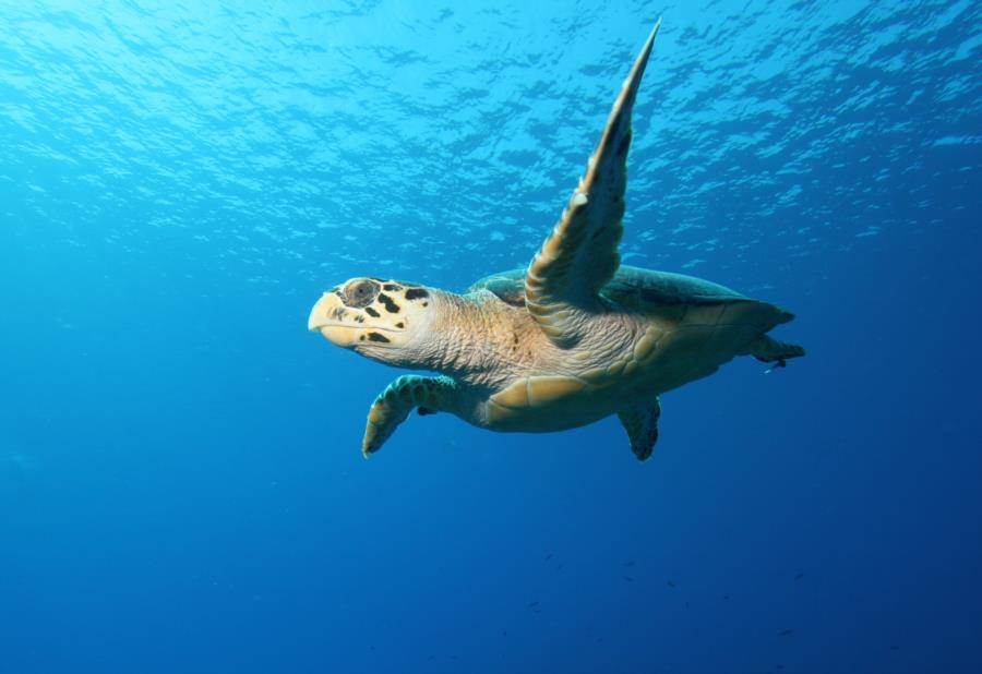 Sea Turtle Little Cayman