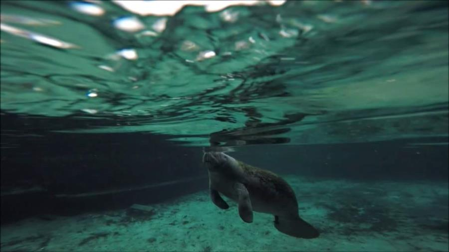 Hanging out with the manatees in Crystal River earlier this year.