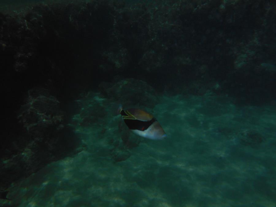 hawaian state fish - Kona