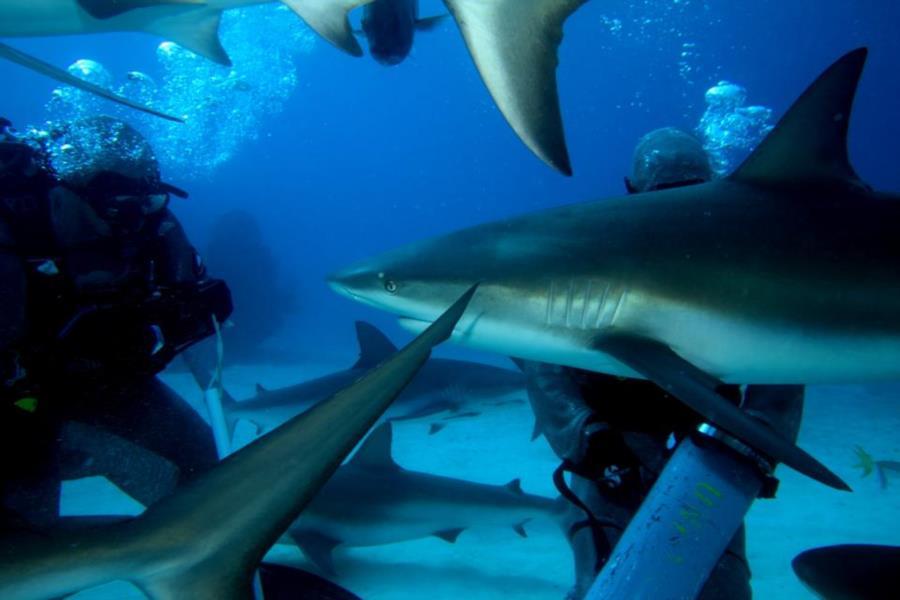 Shark Junction 4 Caribbean Reef Shark