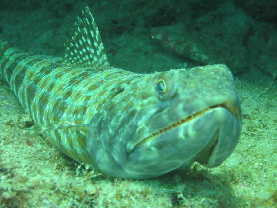 Lizard Fish 4.26.14