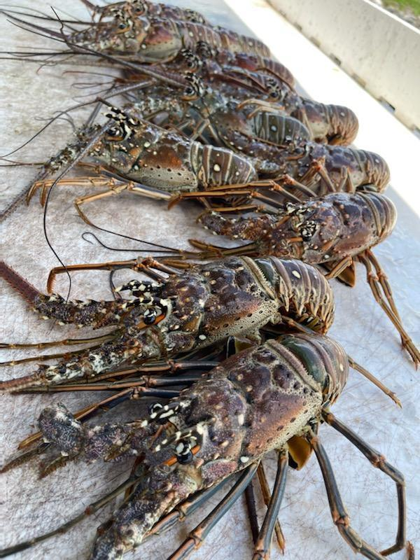 Lobster Season 8.21.21