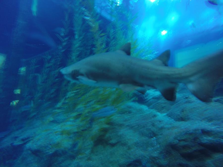 Dubai Aquarium Tiger Shark