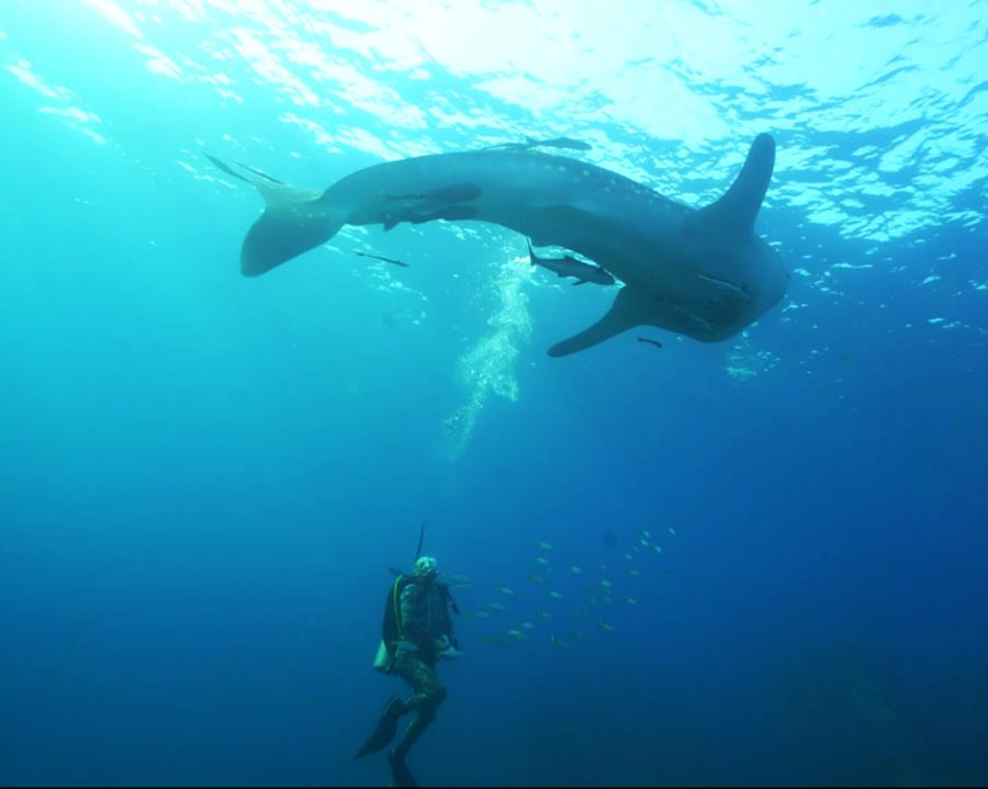 Whale shark in Koh Chang, Thailand-Oct2017-