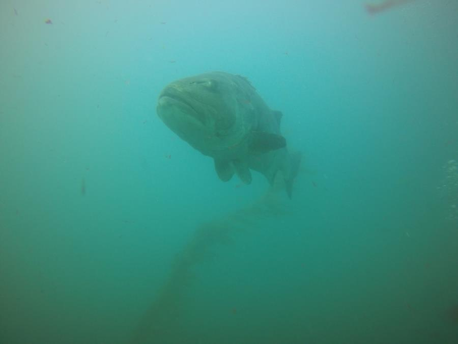 Giant sea bass La Jolla Cove