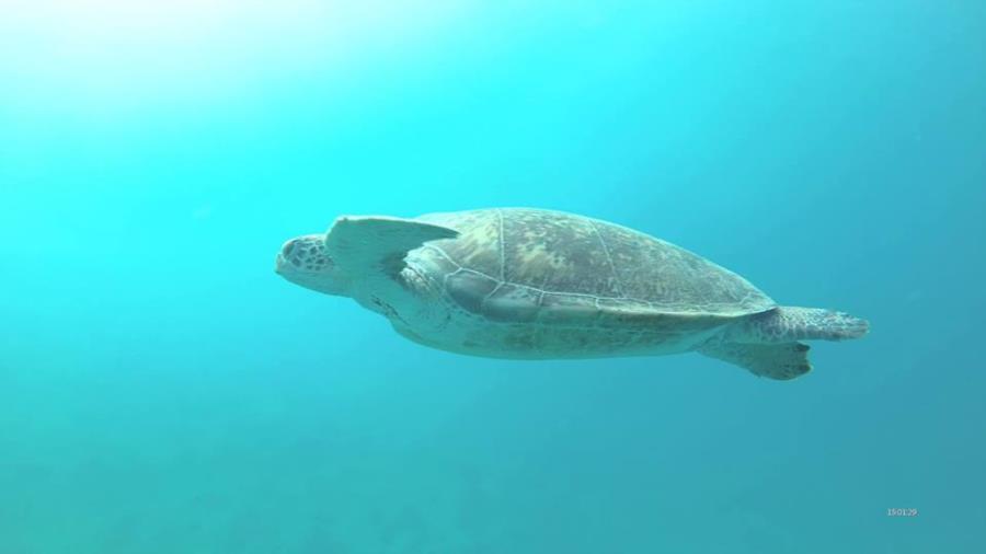 Turtle in Abu Dabbab Egypt