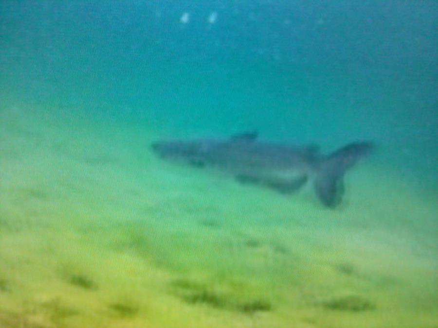 Catfish at Loch Low-Minn