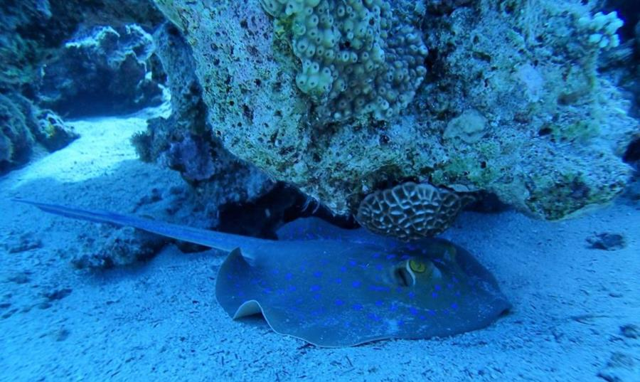 Red Sea bluespotted ribbontail stingray