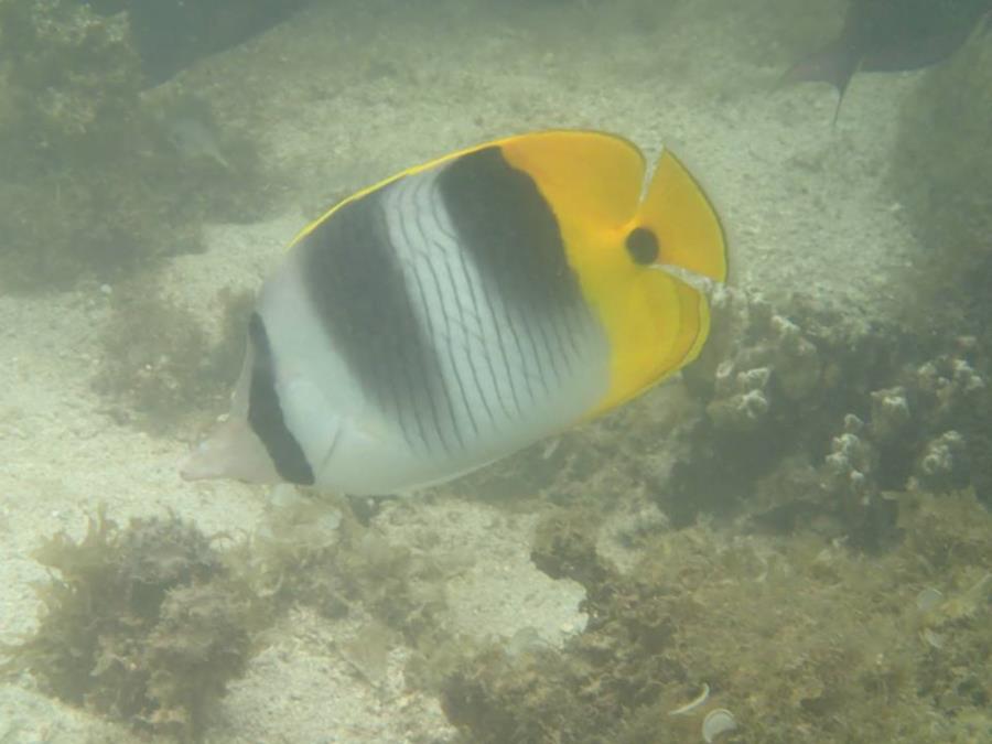 Pacific Doublesaddle Butterflyfish (Chaetodon ulietensis) - Tahiti