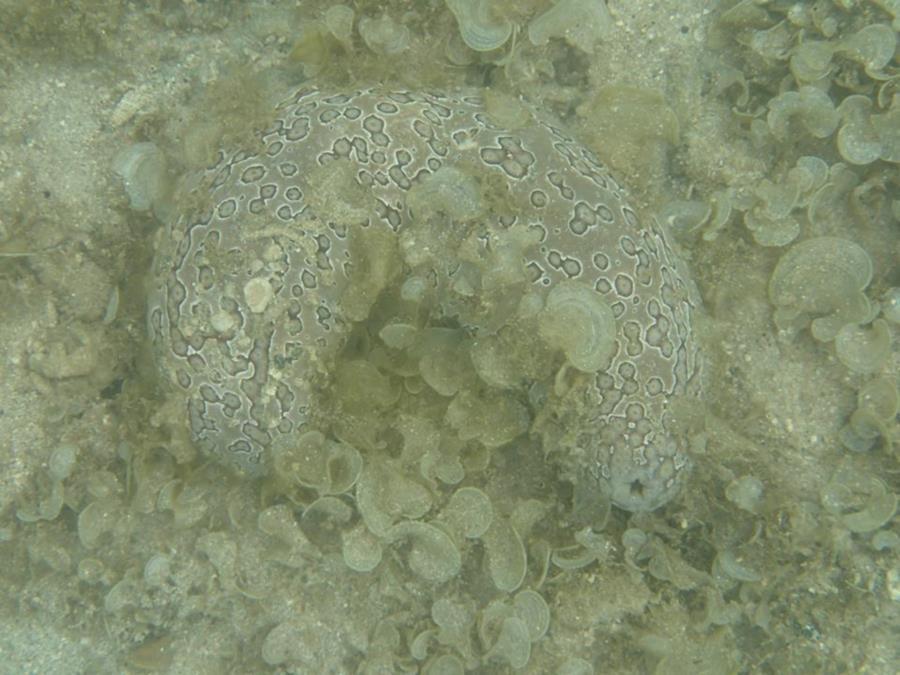 Sea Cucumber - Tahiti