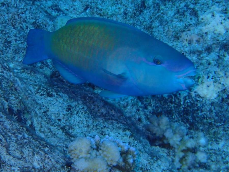 Chlorurus sordidus (Daisy parrotfish or bullethead parrotfish) - Bora Bora