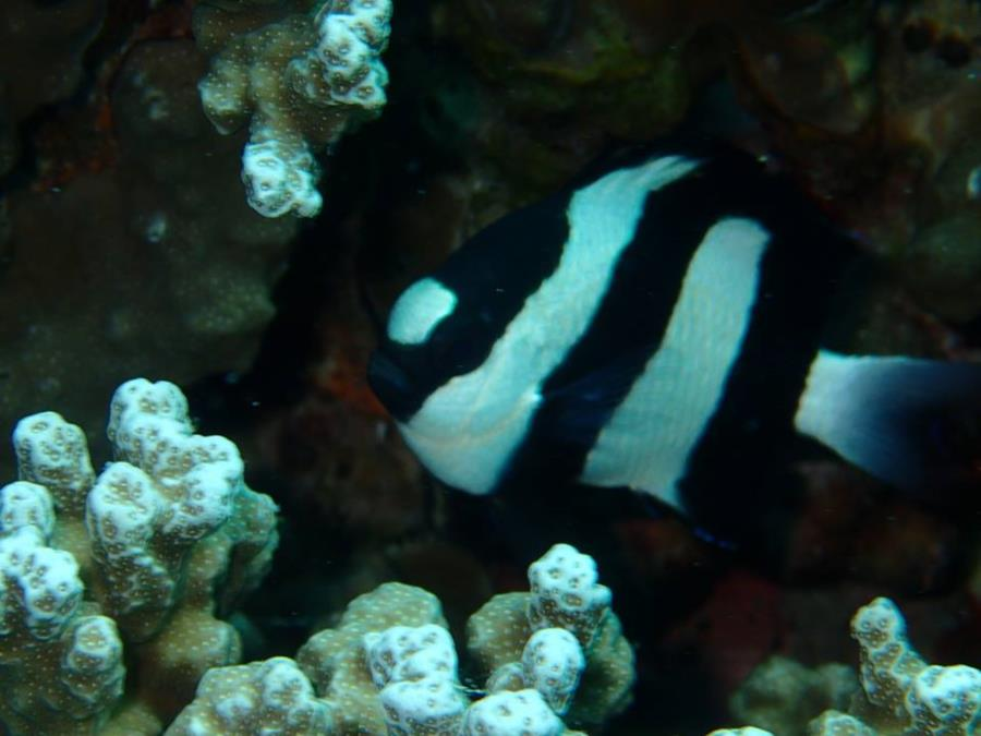 Dascyllus aruanus, known commonly as the Whitetail dascyllus or Humbug damselfish - Bora Bora