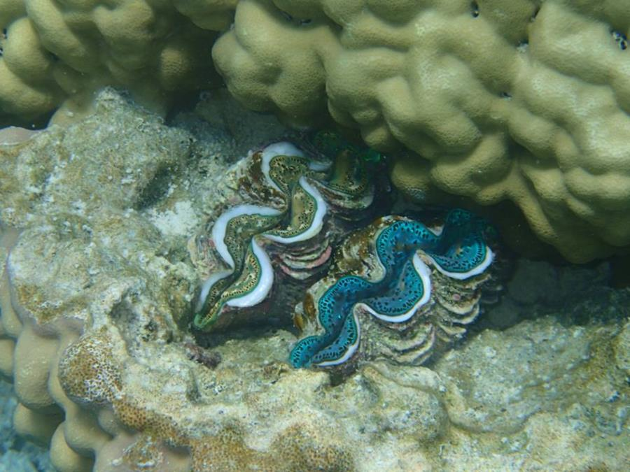 Giant Clams in Bora Bora (Society Islands) - French Polynesia