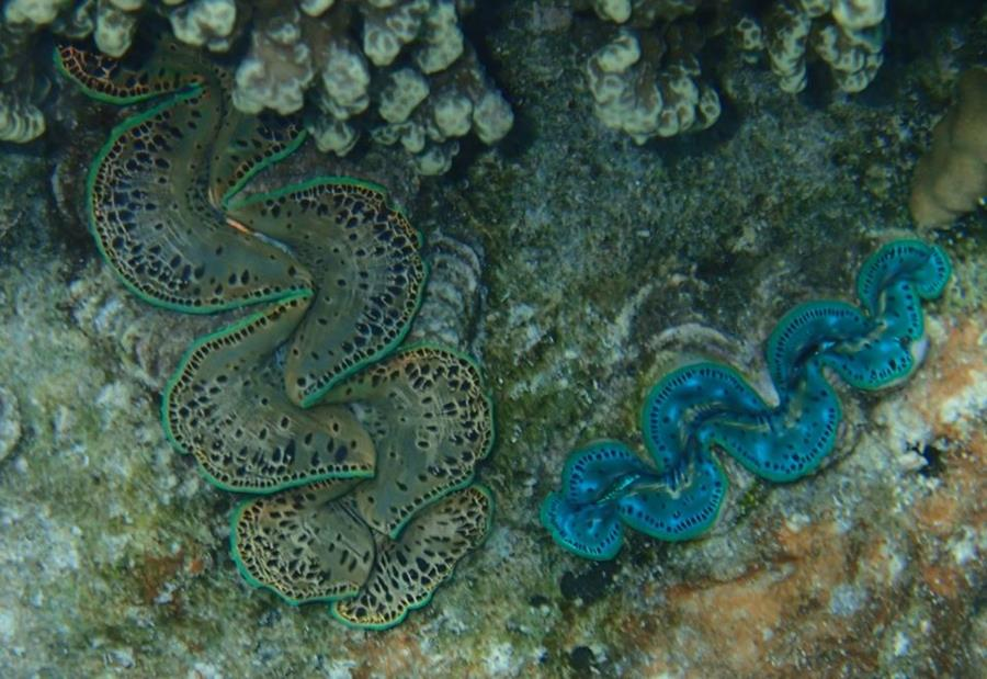 Giant Clams - Bora Bora (Society Islands) - French Polynesia