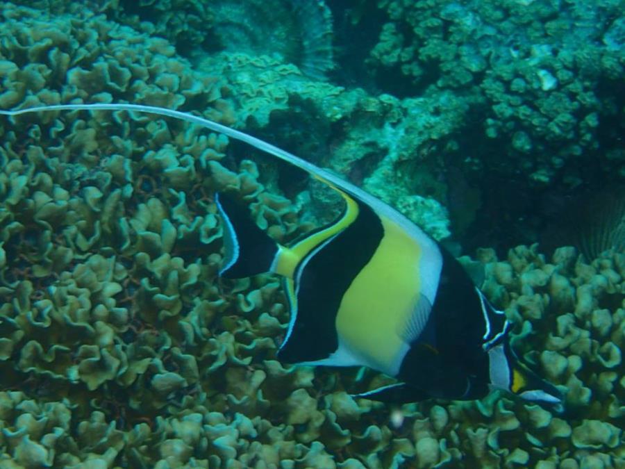 Bora Bora Moorish Idol (Society Islands - French Polynesia