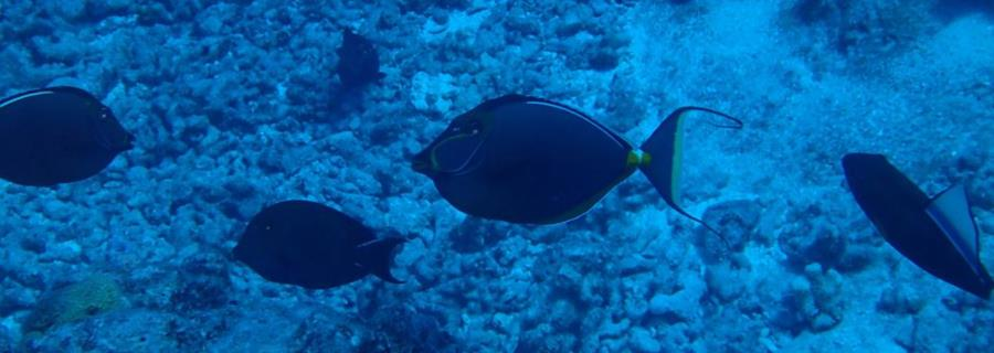 Naso lituratus is a species of fish in the family Acanthuridae - Bora Bora