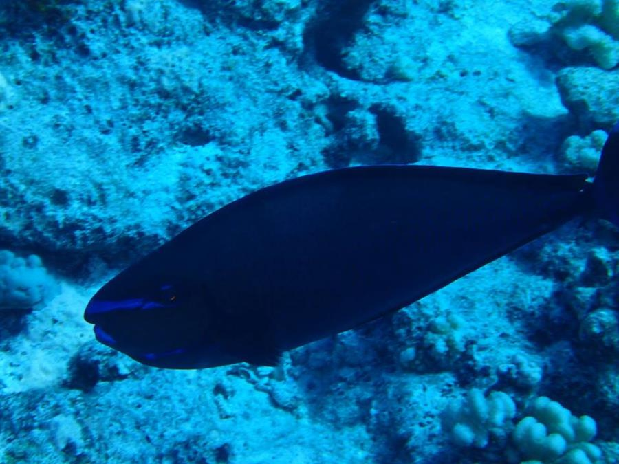 Naso vlamingii - Bora Bora (French Polynesia)