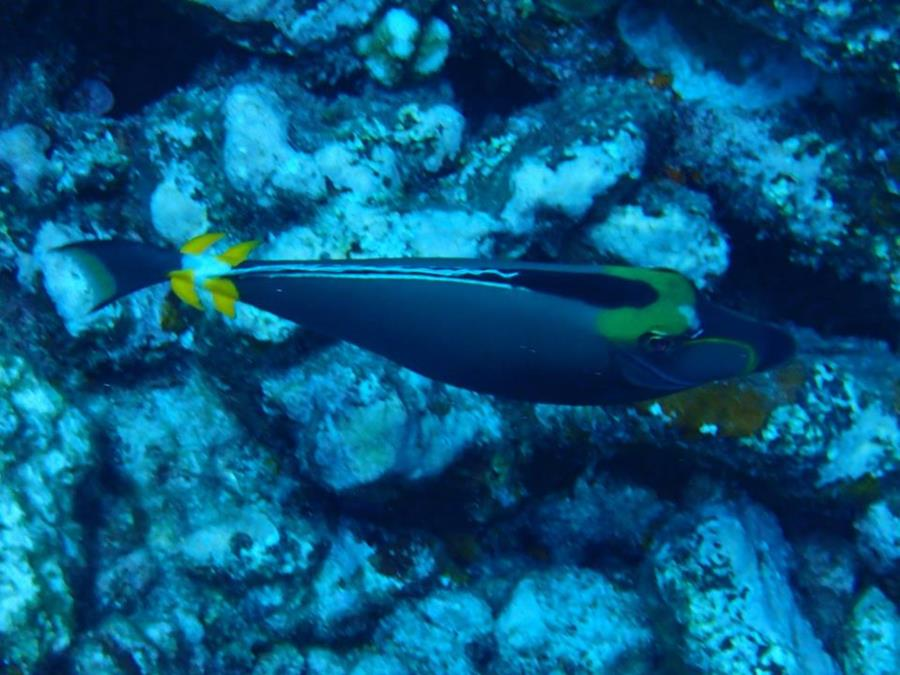 Orangespine unicornfish (Naso lituratus) viewed from the top in Bora Bora