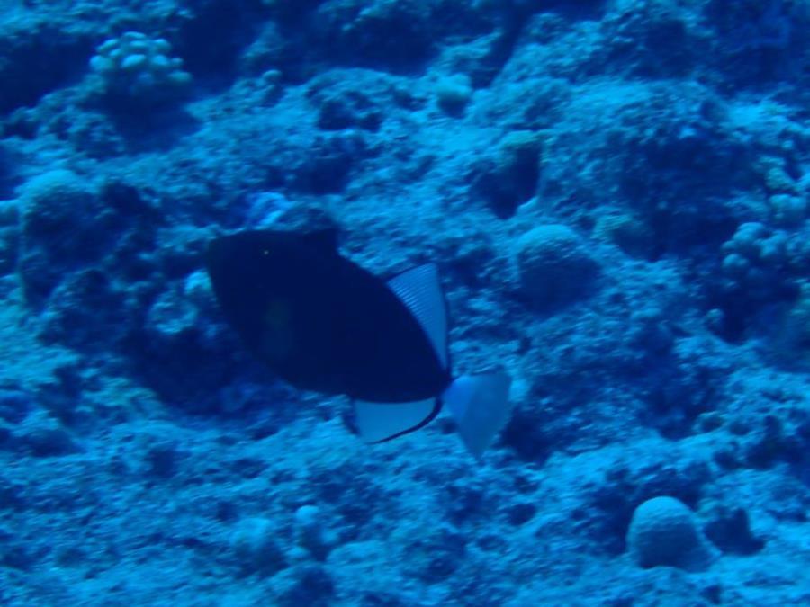 Pinktail Triggerfish (Melichthys vidua) in Bora Bora (French Polynesia)