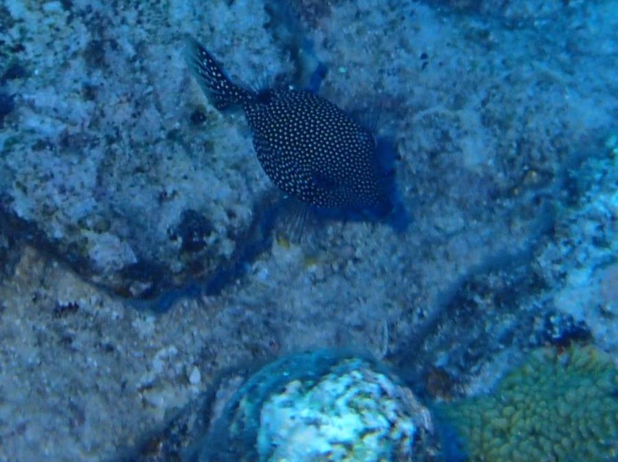 Spotted boxfish (Ostracion meleagris) - Bora Bora
