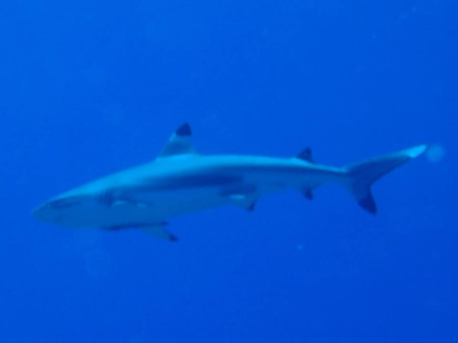 The blacktip reef shark (Carcharhinus melanopterus) - Bora Bora