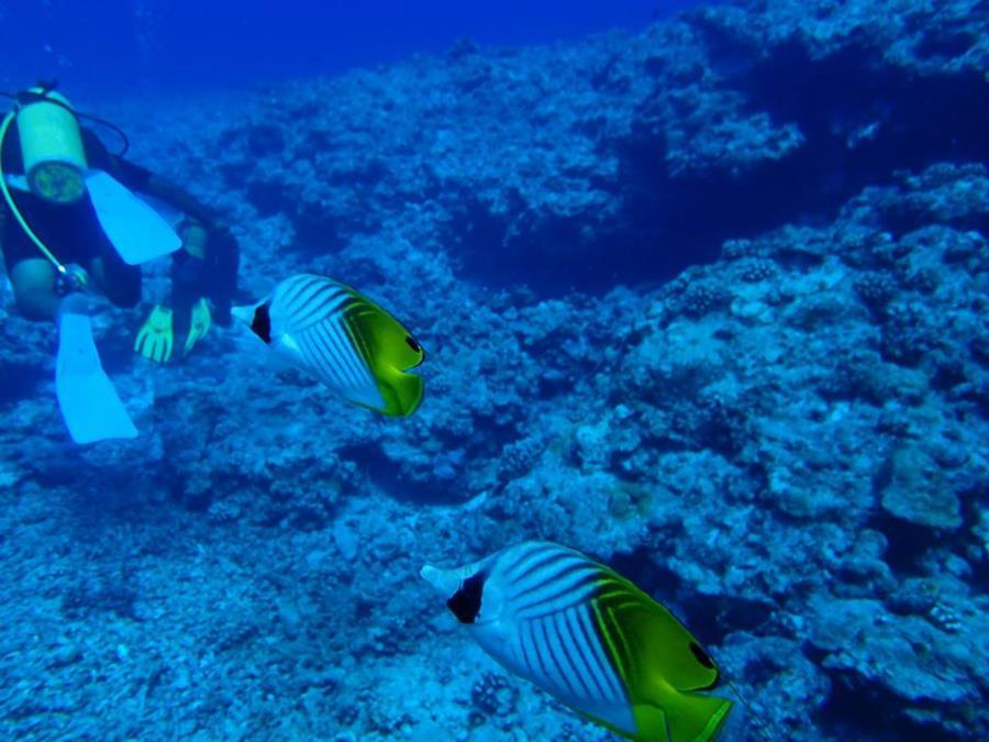 Threadfin Butterflyfish (Chaetodon auriga) - Bora Bora