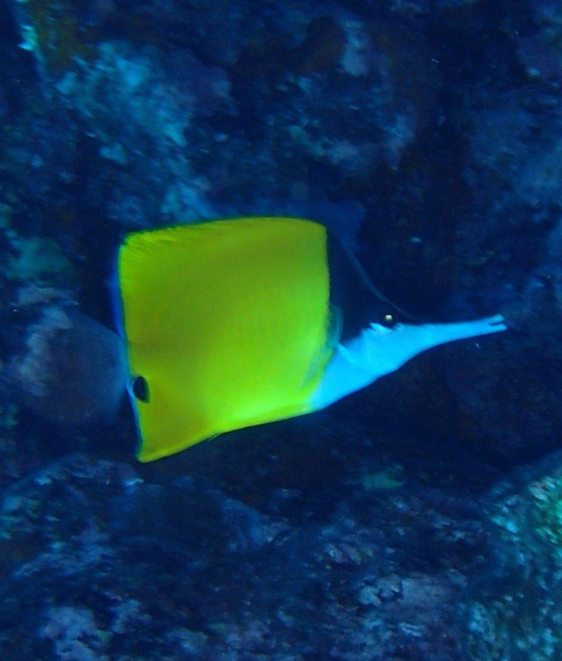 Yellow longnose butterflyfish or forceps butterflyfish, Forcipiger flavissimus - Bora Bora