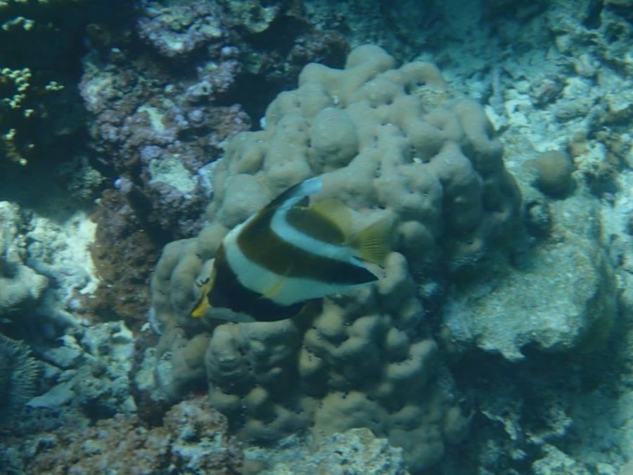 Zanclus cornutus juvenile - Bora Bora