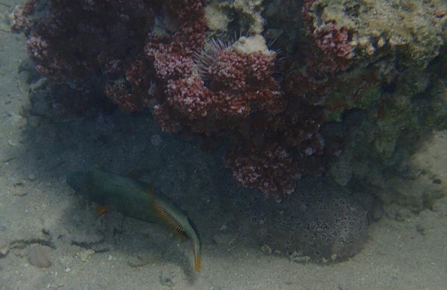 Orange-lined Triggerfish, sea urchin, sea cucumber, and red coral - Mo'orea