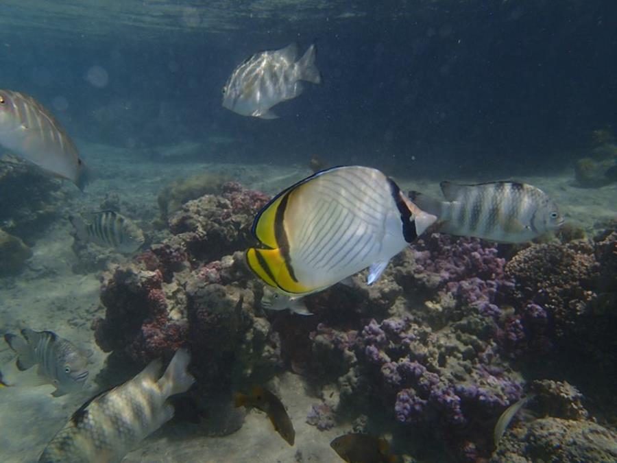 Vagabond Butterflyfish (Chaetodon vagabundus) - Mo'orea