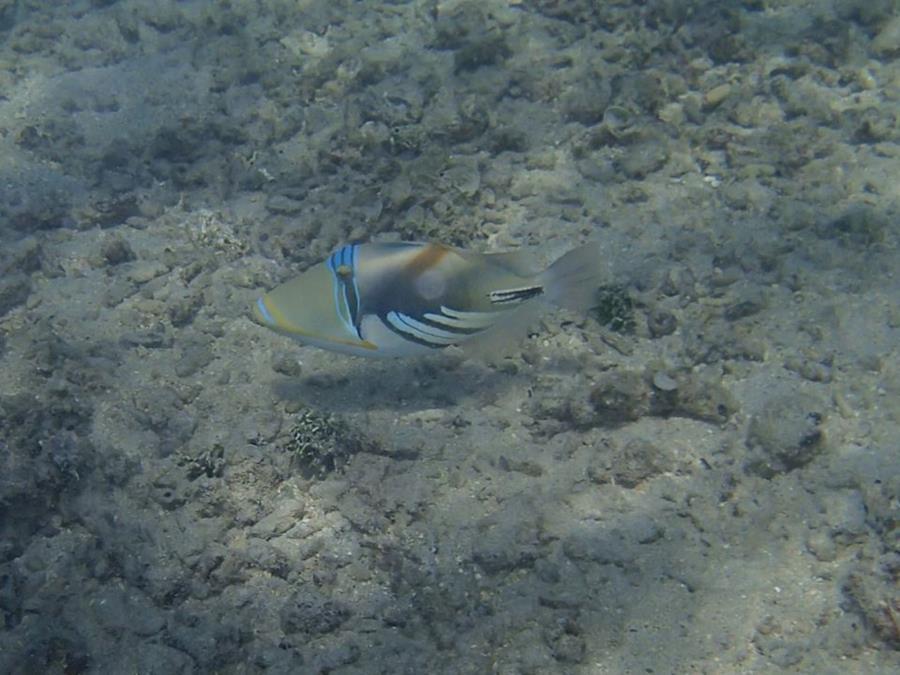 White-banded Triggerfish (Rhinecanthus aculeatus) - Mo'orea (French Polynesia)